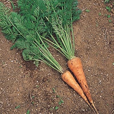 おいしくて楽しい! 庭で育てたい<野菜><ハーブ><果樹>【その②:ニンジン】