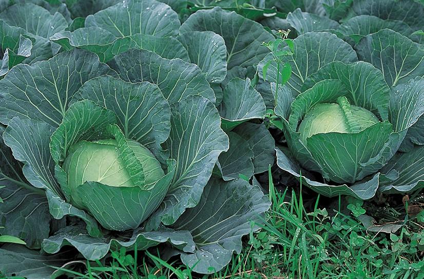 おいしくて楽しい! 庭で育てたい<野菜><ハーブ><果樹>【その⑧:キャベツ】