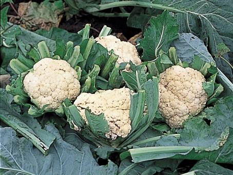 おいしくて楽しい! 庭で育てたい<野菜><ハーブ><果樹>【その⑨:カリフラワー】