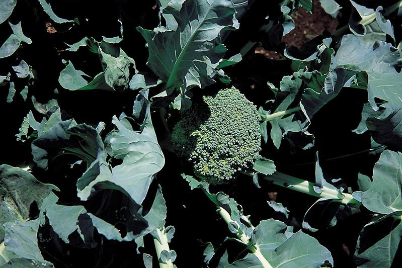 おいしくて楽しい! 庭で育てたい<野菜><ハーブ><果樹>【その⑫:ブロッコリー】