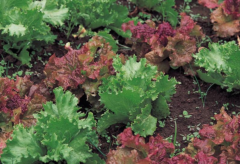 おいしくて楽しい! 庭で育てたい<野菜><ハーブ><果樹>【その13:サニーレタス】